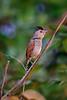 Rufous-Winged Antshrike......(RLT_3147)