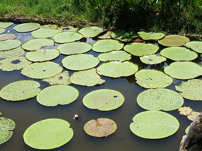 Day 2 - Manaus - Not so impressive lily pads. Yep--they're small.