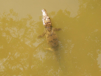 Day 2 - Manaus - Alligators!