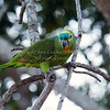 Turquoise-fronted Amazon 1