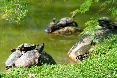 No shortage of turtles