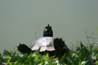 The turtle was sunning itself in the park.
