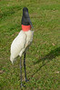 Jabiru Stork in the Pantanal