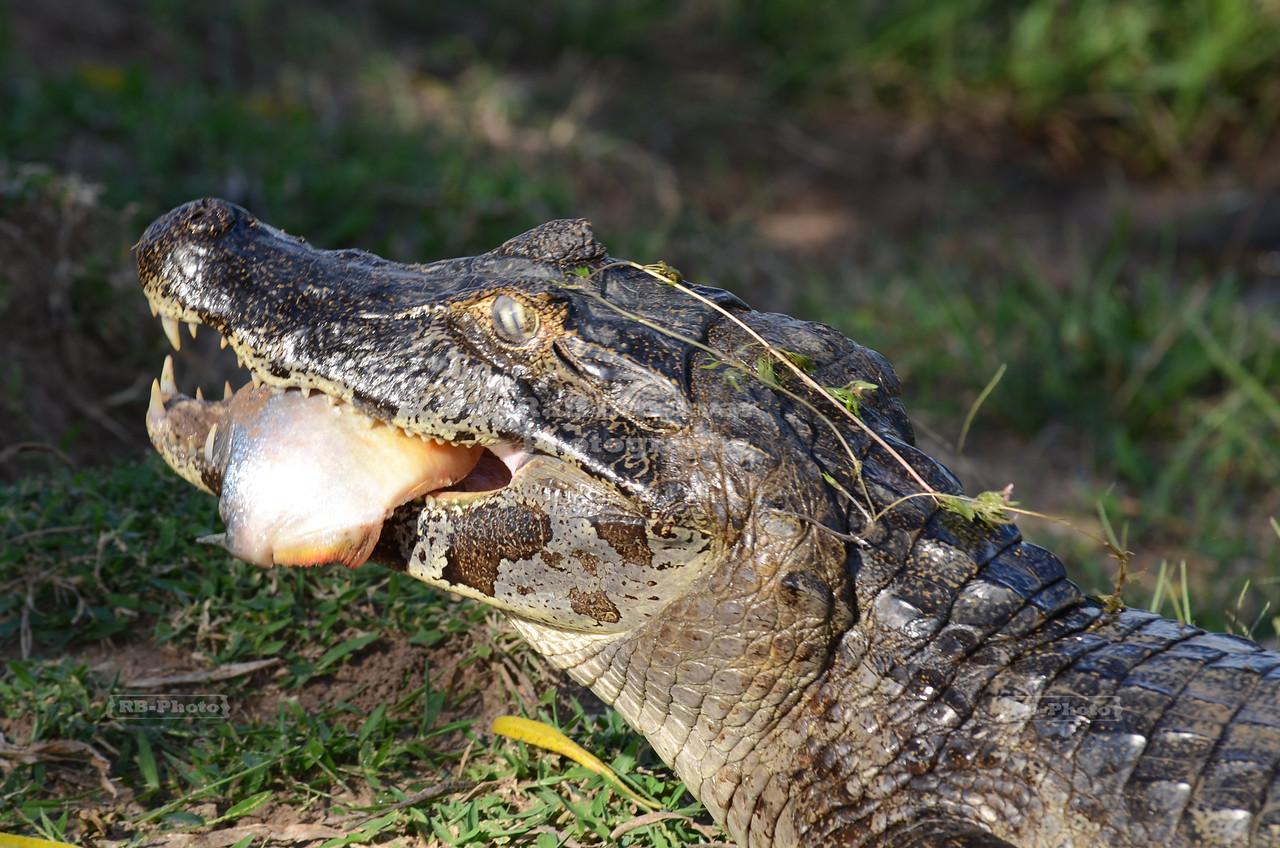 Caiman in the Brazilian Pantanal