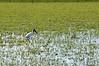 Wood Stork in the Brazilian Pantanal (blurry)