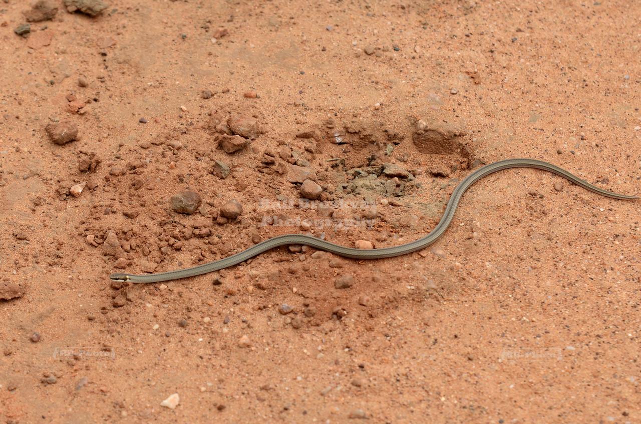 Thin snake