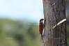Narrow-billed woodcreeper
