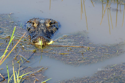 Spectacled Caiman in the Pantanal