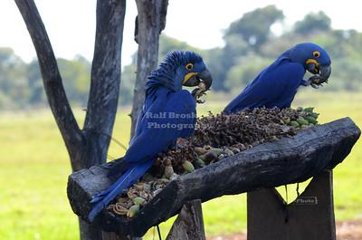 Hyacinth Macaws in the Pantanal