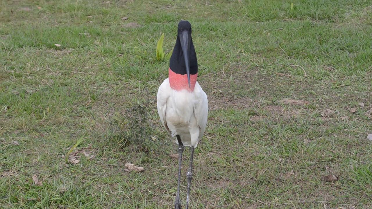 Video: Jabiru Stork