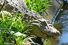 Crocodile at the zoo in Foz do Iguaçu