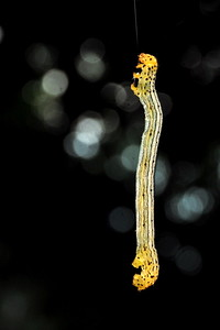 The same caterpillar, here seen slowly ascending on its thread.