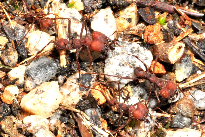 Unknown ant species by side of road... quite large!