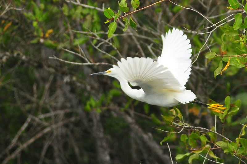 Possibly a great white heron