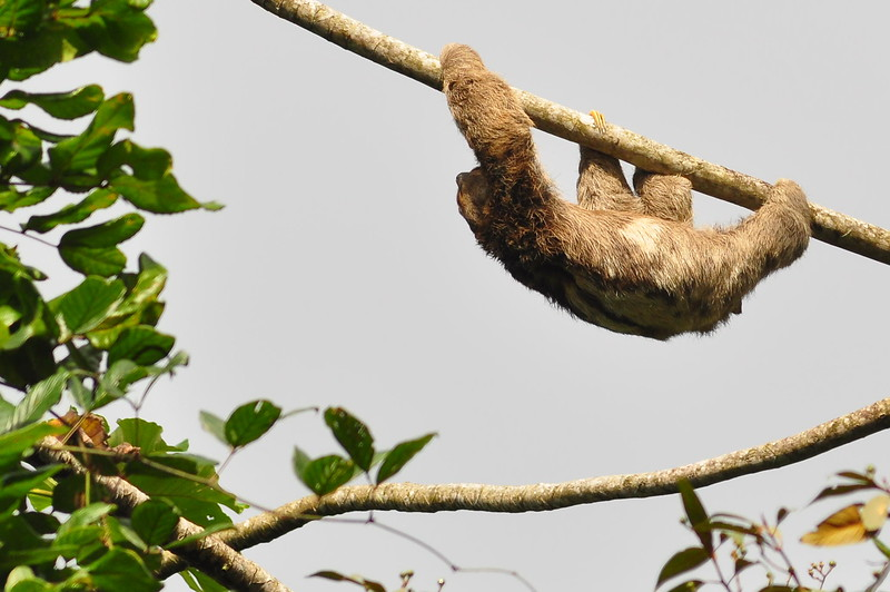 Tree sloths spend so much time hanging upside down, the fur on their legs actually grows in the opposite direction from most mammals (AWAY from the extremities).