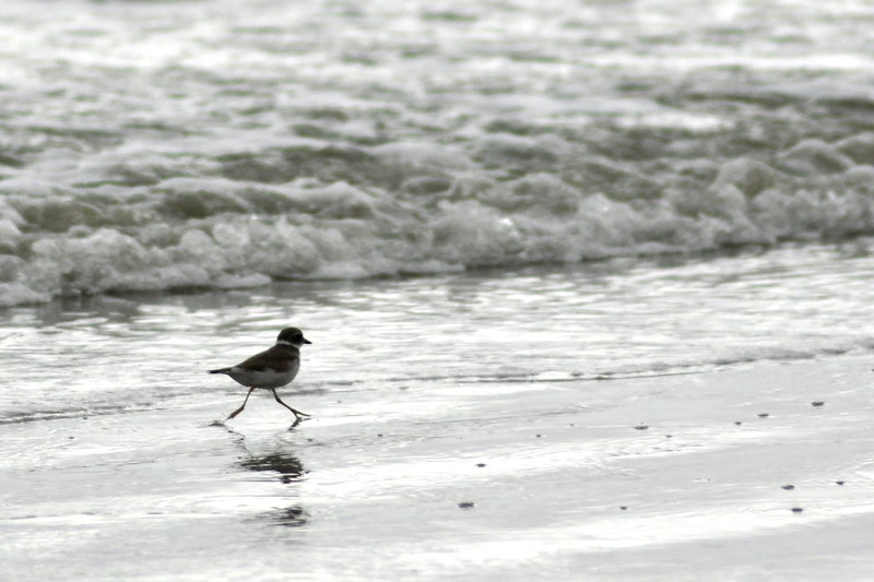 Same species as above, foraging in the wake of each retreating wave.