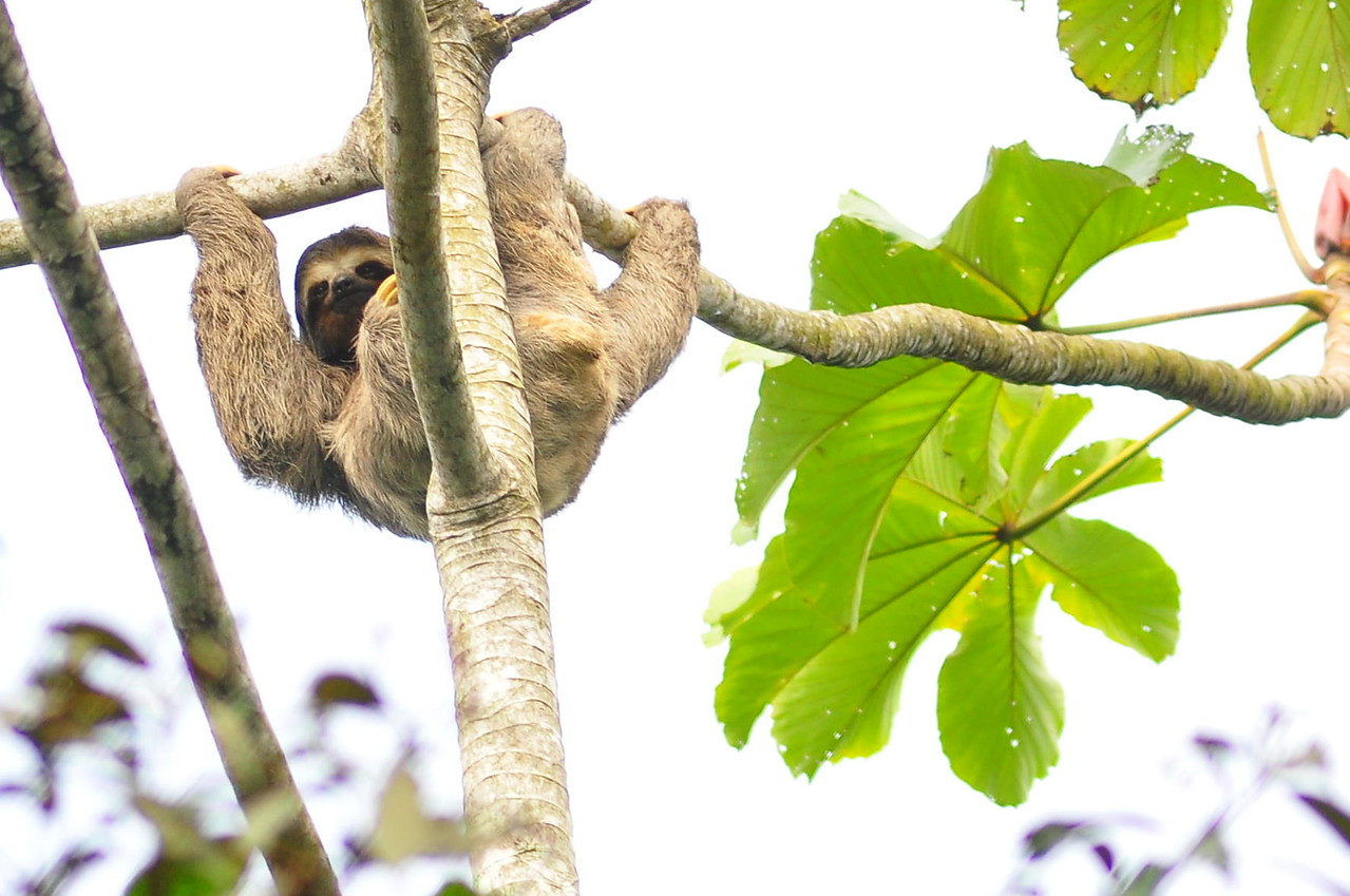 Tree Sloth (exact species unknown). Famously slow moving, this is actually a looped 6 minute video in a windless day. No just kidding, its a still :D<br /> <br /> Precise species yet unknown, seen next to the Nucleo Picinguaba visitor centre.
