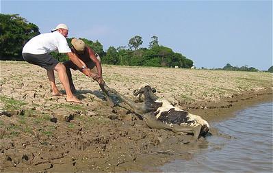 Redden van een koe - Deel 3. Canal do Jari, Brazilië.