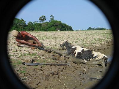 Redden van een koe - Deel 2. Canal do Jari, Brazilië.
