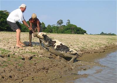 Redden van een koe - Deel 4. Canal do Jari, Brazilië.