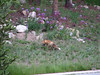 A fox we saw across the road from our room at the Valdoro Lodge in Breckenridge.