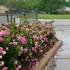 Roses outside the Blue Bell plant.