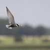 "Whiskered Tern (Chlidonias hybridus) - witwangstern - a typical species for the Brenne and its waterlily covered ""etangs"""