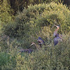 Purple heron (Ardea purpurea) - purperreiger - adult bird with youngsters on nest in Bellebouche