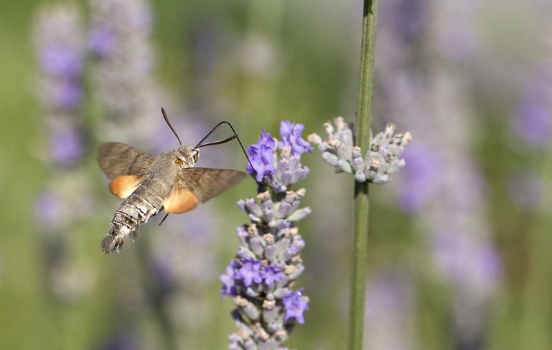 Hummingbird Hawk-moth (Macroglossum stellatarum) - kolibrievlinder -
