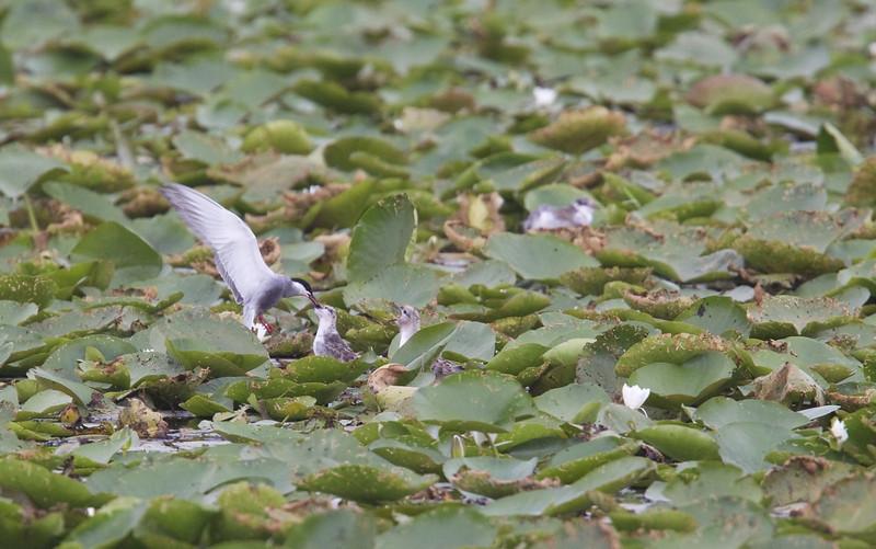 Whiskered Tern (Chlidonias hybridus) - witwangstern