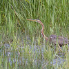 Young Purple heron (Ardea purpurea) - purperreiger - hunting in the Etang de la Sous.