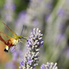 Broad-bordered Bee Hawk-moth (Hemaris fuciformis) - glasvleugelpijlstaart - feeding on the lavender in the garden of the Domaine de la Crapaudine