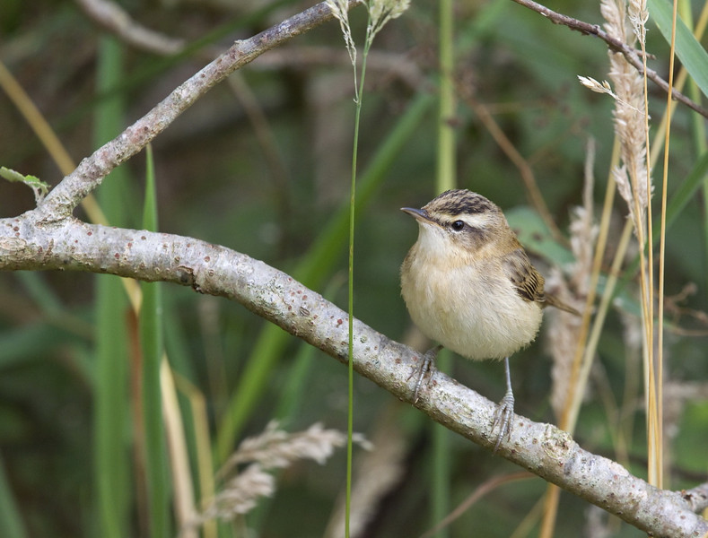 Sedge Warbler (Acrocephalus schoenobaenus) - rietzanger - a couple of birds had their preferred hunting spot just next to the bird hide, often getting close for my 400 mm