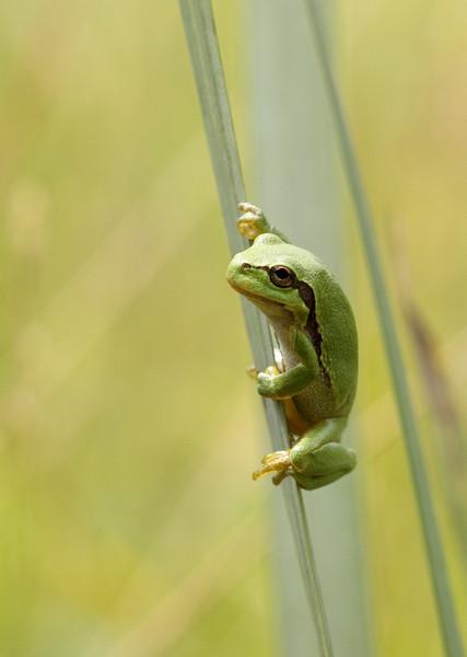 European tree frog (Hyla arborea) - boomkikker