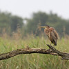 Early morning at Etang de la Sous and a bit of a drizzle - but still the Purple heron (Ardea purpurea) - purperreiger - is showing off on the dead tree