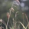 Reed Warbler (Acrocephalus scirpaceus) - kleine karekiet