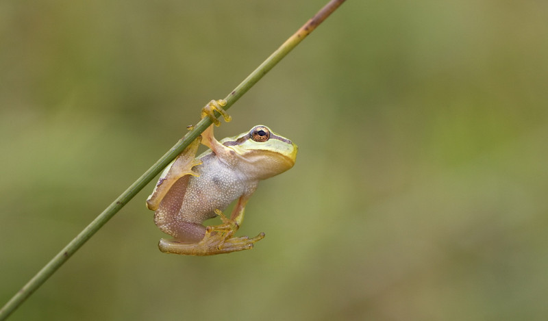 """look mammy with one hand ... "" -- European tree frog (Hyla arborea) - boomkikker"