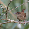"""Wren (Troglodytes troglodytes) - winterkoning. There are a few races and this one looks a bit dark for the normal european mainland form. Bird books only mention the """"zetlandicus"""" as a subspecies and that one looks darker (similar to this one) - however, their normal range is on the Scottish, Faroer Islands and Iceland ... all of which are rather far from the Brenne for such a little bird..."""