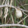Sedge Warbler (Acrocephalus schoenobaenus) - rietzanger