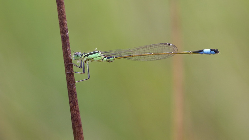 Blue-tailed Damselfly (Ischnura elegans) - lantaarntje - young male characterized by the green color of the thorax which later on turns bright blue