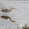 Purple heron (Ardea purpurea) - purperreiger - adult bird hunting at etang Foucault