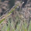 Sedge Warbler (Acrocephalus schoenobaenus) - rietzanger - hanging out in the reeds around the observatory of Etang de la Sous