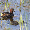 Little Grebe (Tachybaptus ruficollis) - dodaars - the adult bird was continuously hunting to feed the very demanding chick. Most often, it caught little crayfish (Astacus astacus).