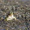 Act of cannibalism at the Cherine reserve ! - Green frog eating a young frog...