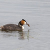 "Great Crested grebe (Podiceps cristatus) - fuut with ""catch of the day"". This bird was very successful and in about 10 minutes, it caught 4 fish at about the same location just in front of our hide (Brenne - France)"