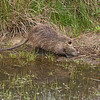 Nutria (Myocastor coypus) - beverrat - this exotic species originating from South America and once imported for its fur has become a real pest in the Brenne. It has a big appetite for all water plants and by emptying whole lacks of waterlilies and other aquatic plants, it makes these areas much less attractive for the nesting terns