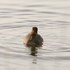 Eared Grebe (Podiceps nigricollis) - geoorde fuut - with its many lakes, the Brenne region offers great nesting oppotunities for the eared grebe - it can be observed on many of the lakes.