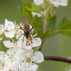 "Hawthorn (Crataegus monogyna) - eenstijlige meidoorn - with some mosquito spec. - the musquito was using its long ""snout"" (rostrum) to suck the nectar from the hawthorn. The hawthorn bushes around the parking lot of the Maison de la Nature (Brenne, France) were full of these insects."