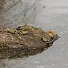 Frog gathering