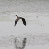Purple heron (Ardea purpurea) - purperreiger being chased off by a black-headed gull (Larus ridibundus) - kokmeeuw